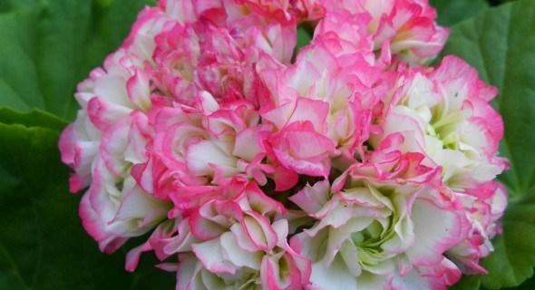 Найгарніші за всі квіти світу: улюблені пеларгонії