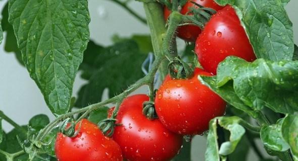 Уплотненные томаты: как получить повышенный урожай с небольшой площади