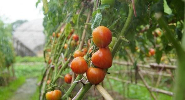 Раціон для овочів: терміни та види підживлення для городніх культур