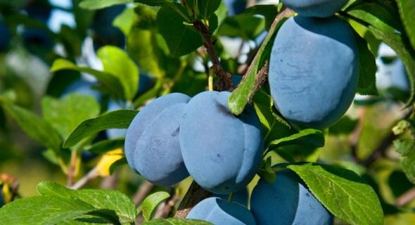 Окраса саду – слива: вибираємо стійкі до хвороб та продуктивні сорти