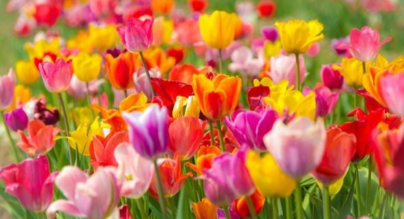 Квіти, оповиті легендами: тюльпани. Історія культури, види та сорти, поради з агротехніки