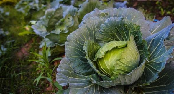 Фомоз капусти: причини та наслідки хвороби, заходи боротьби з фомозом