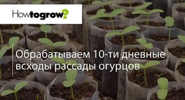 Урок 3: обробляємо 10-тиденні сходи розсади огірків