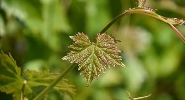 """Виноградник без """"відходів"""": розмножуємо кущі методом зеленого живцювання"""