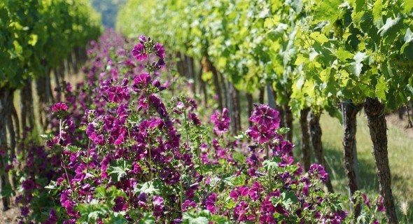 Виноградарство: що робити у липні