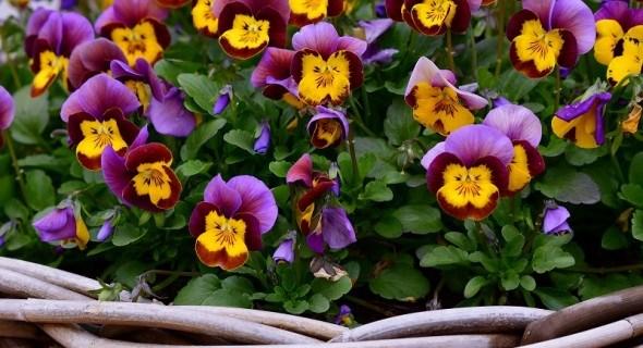 Віола, ніжна і чудова: фіалки у садку, види та сорти