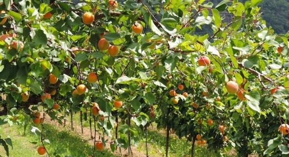 Садові напасті: захист абрикосових дерев від шкідників