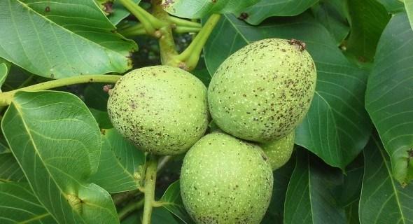 Стаємо на захист волоського горіха: вирощування стійких сортів вітчизняної селекції