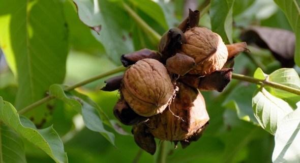 Вирощування горіха з насіння: скороплідний горіх в питаннях і відповідях