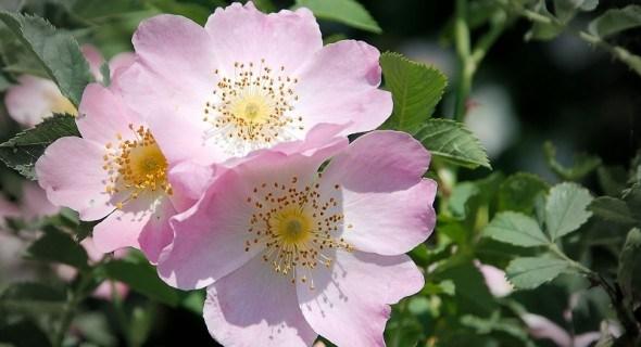 Дикая роза моего сердца: выращиваем майский шиповник