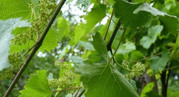 Календар виноградаря: червневі клопоти