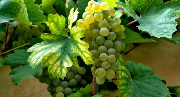 З любові до винограду: вирощуємо стійкі сорти