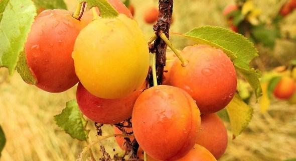 Найближча родичка сливи: алича. Вибираємо сорти з десертними плодами