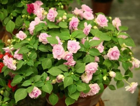 Тендітний красень: вирощуємо серії і сорти бальзаміна Уоллера