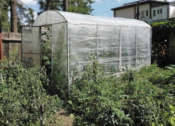 З огірками все вийшло: досвід вирощування зеленців у теплиці