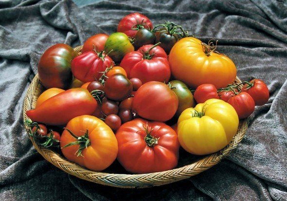 Апетитний помідорний ряд: досвід вирощування нових врожайних сортів