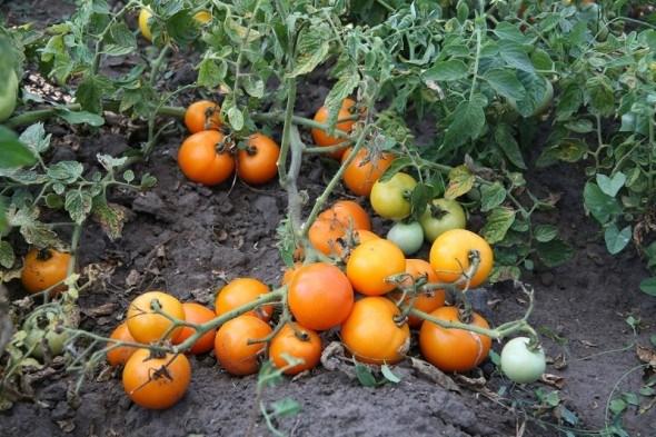 """Бесподобный оранжевый!  Выращиваем """"солнечные"""" сорта томата"""