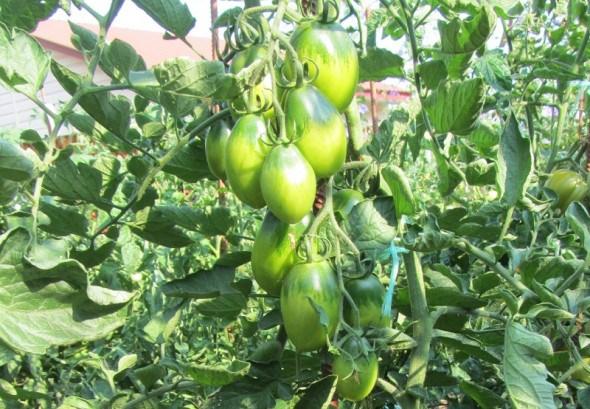 З'їв і ще захотів: вирощуємо томати сорту Смарагдова груша