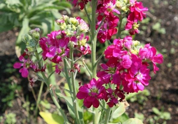 Матіола: квітка, що наповнює сад ароматом