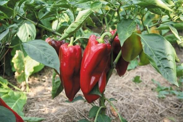 Гібрид не гірше сорту: як отримати гарний врожай перцю в стресових умовах