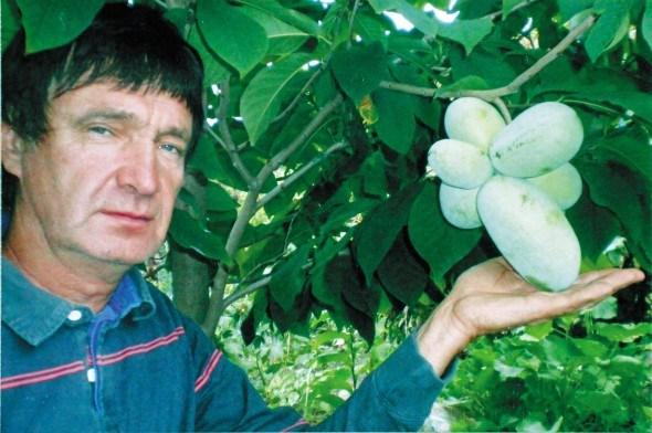 Загадкова американка – азіміна: вирощуємо в Україні