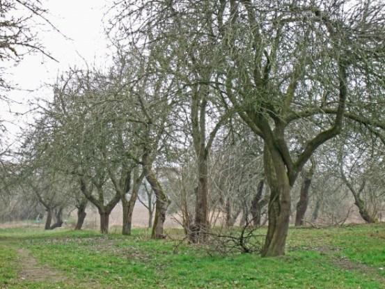 Осіння побілка дерев для захисту від сонячних опіків