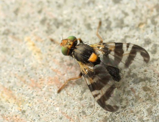 4 способа борьбы с вишневой мухой на черешне