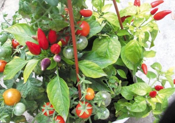 Подивіться, яка краса: декоративні грядки з помідорів та перця