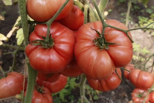 Червоний гігант: універсальний томат-важкоатлет