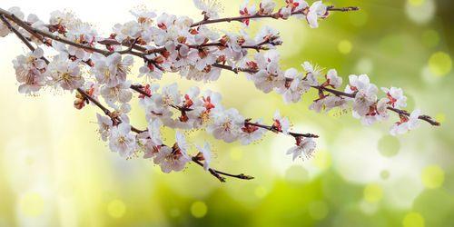 Подкармливают абрикосы на весне