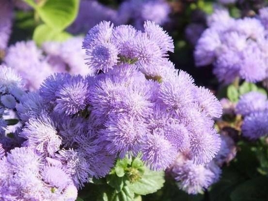 Агератум в вашем цветнике: выращивание, размножение, декоративное использование