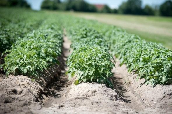 Вирости здоровий урожай картоплі