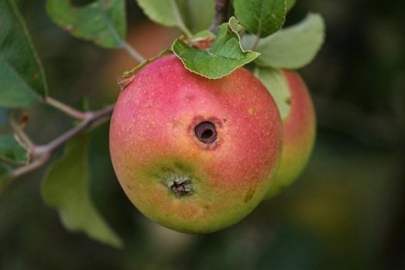 Хто в яблуці живе: заходи боротьби з плодожерками у саду