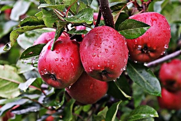 Сад з високим імунітетом: сорти для органічного садівництва