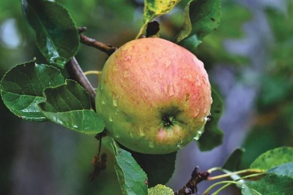 Яблуні, що не підведуть: досвід вирощування зарубіжних імунних та продуктивних сортів