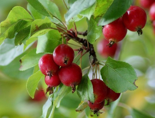Райские яблочки в дизайне сада