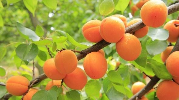 Защита абрикоса от болезней