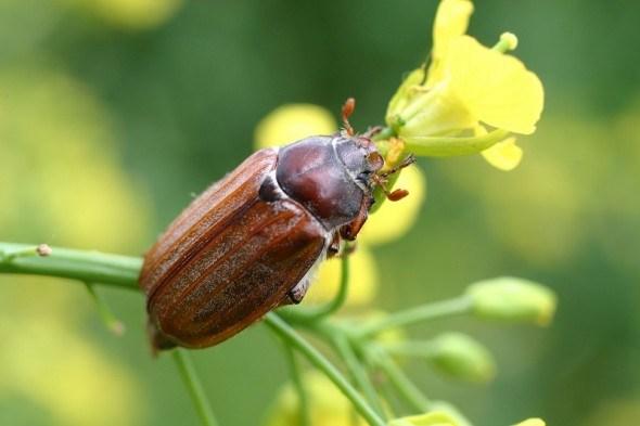 Боремся с майским жуком