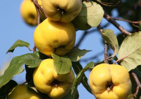 Ветка айвы с плодами