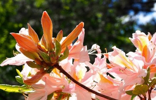 Мінливі східні красуні: види азалій у садибі