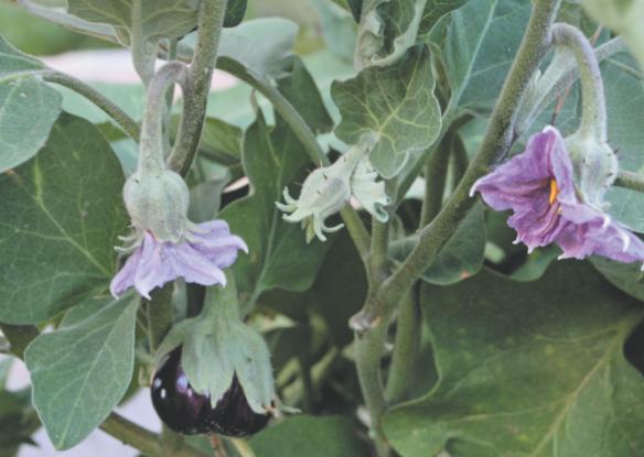 Выращиваем баклажан: только рассада и только органическая!