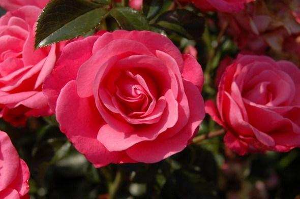 Рабатковые розы: основной уход и популярные сорта