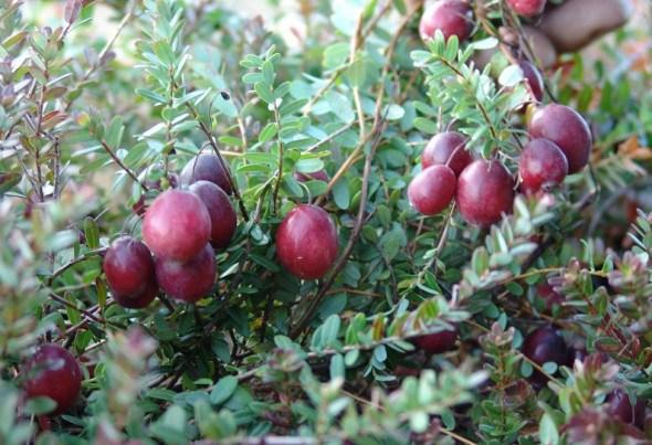 Журавлина великоплідна: досвід товарного вирощування в Україні