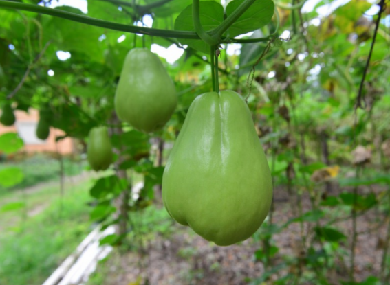 Чайот або мексиканський огірок: вирощуємо в Україні