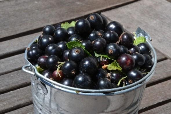 Смородина – ягода: годує та зцілює