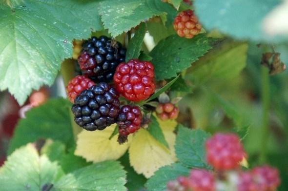 Солодкі ягоди, цілюще листя: лікарські властивості ожини