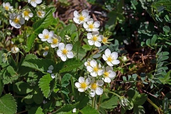 Земляничная страда: посадка рассады в открытый грунт и уход за растениями