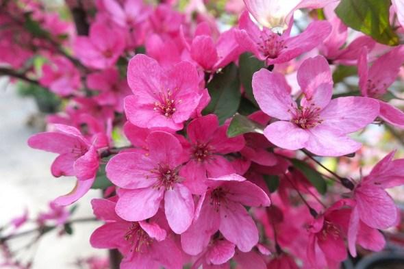 Привабливі дикунки: декоративні яблуні у садівництві