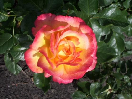 Кустарниковые розы на любой вкус: декоративная ценность и популярные сорта