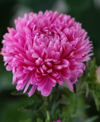 Brilliant Rose (Діамант Роз)